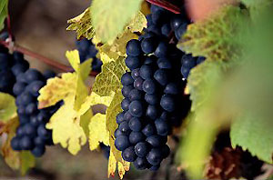 Aglianico grapes of italian wines