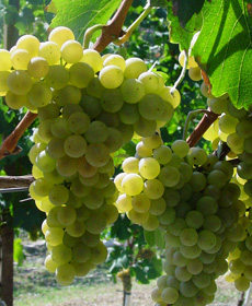 Arneis italian grapes