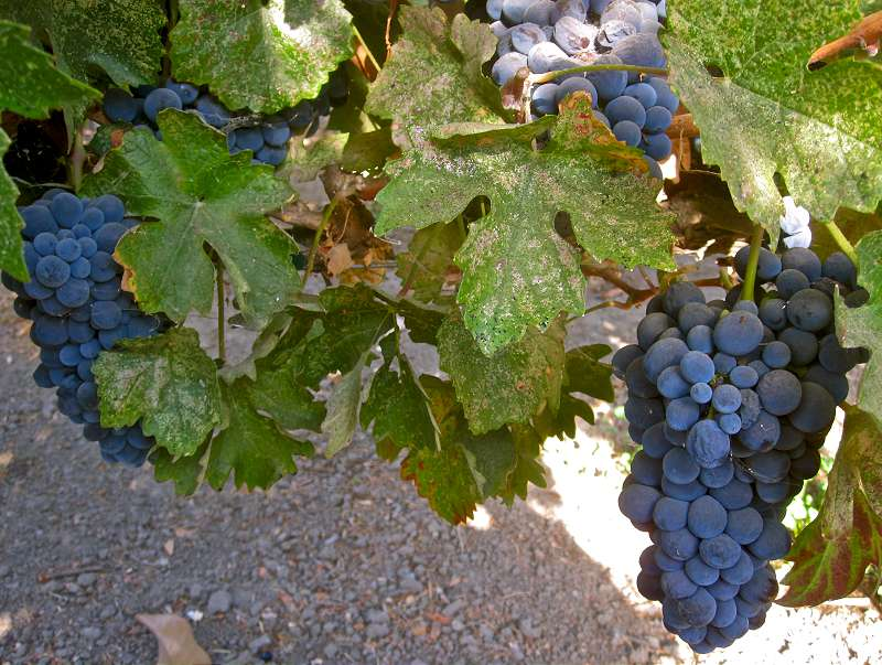Barbera grapes wine