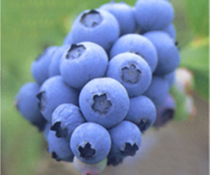 Bilberry - A master antioxidant and a strong Anti-Aging Herb
