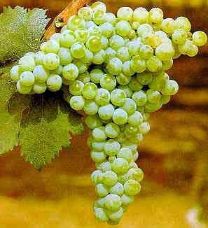 Bombino Bianco italian wine
