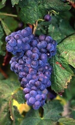 Brachetto italian wine grapes origin from France