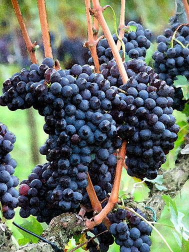 Brunello italian wine grapes