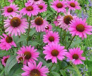 Echinacea - One of the best herbal immune-system enhancers