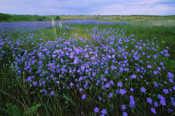 Flax plant - Boosting your omega-3