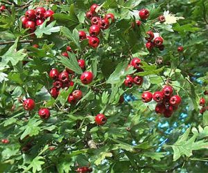 Hawthorn - The best herbal heart tonic around