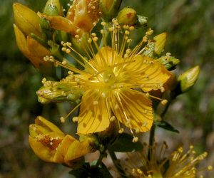 St. John's Wort - An anti-aging herb of choice for mild to moderate depression