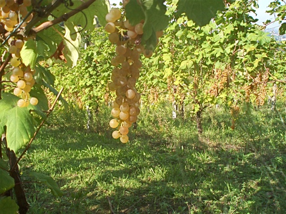 Albana grapes