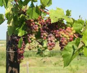 This image it is about Organic Wines – Growing organic wine grapes