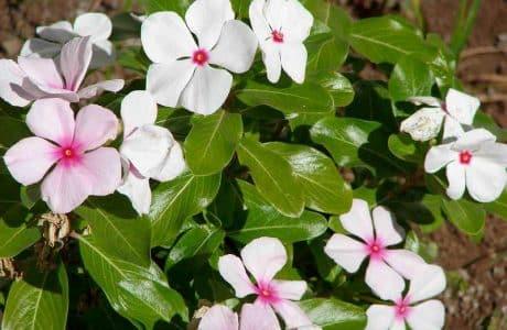 annuals flowers Madagascar-periwinkle (Catharanthus roseus) white