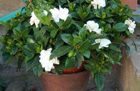 how to grow, care and flower gardenia