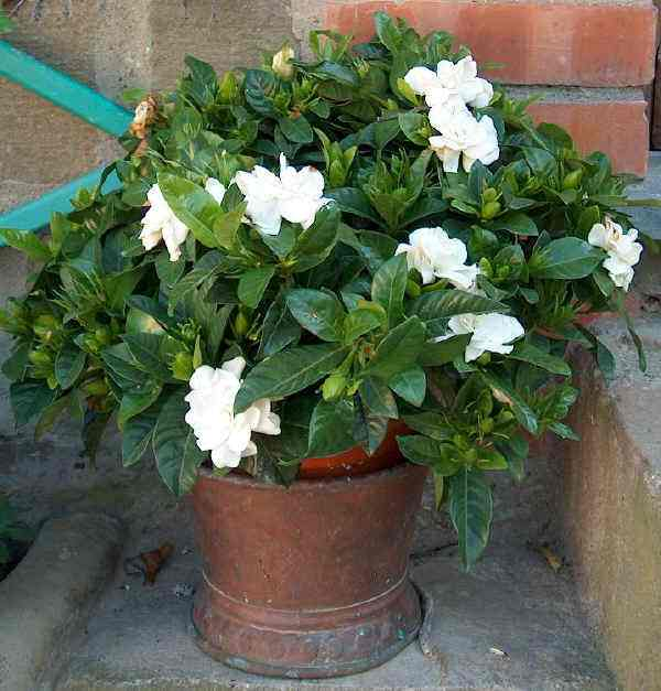 how to grow, care and flower gardenia