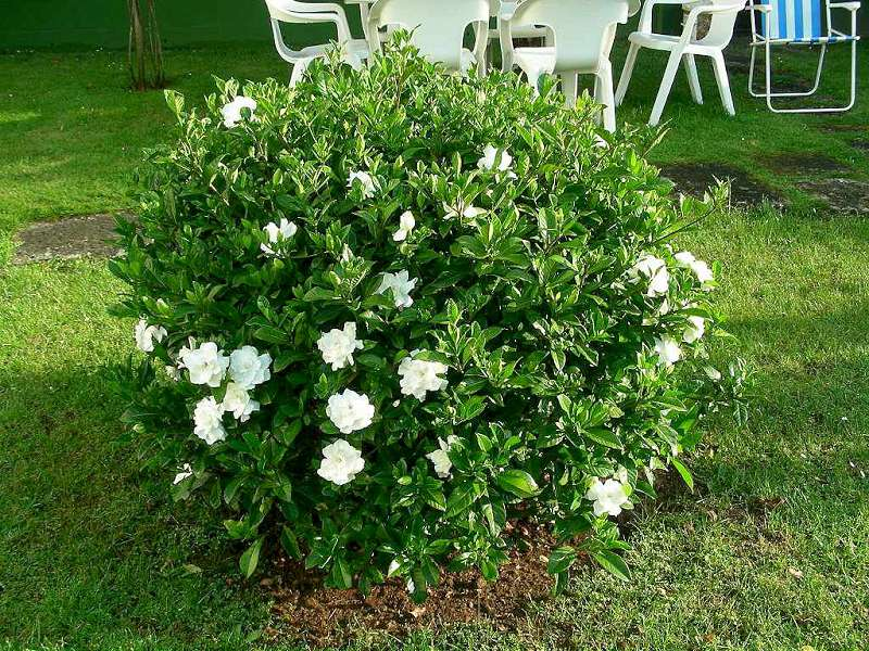 how to grow gardenia flowe