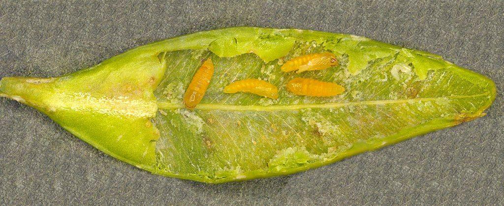 Boxwood leafminer cecidomyiidae monarthropalpus buxi