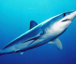 silky shark fins