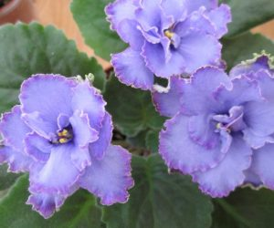 Blue dragon African violet