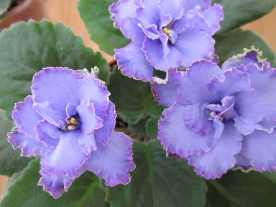 Blue dragon African violet