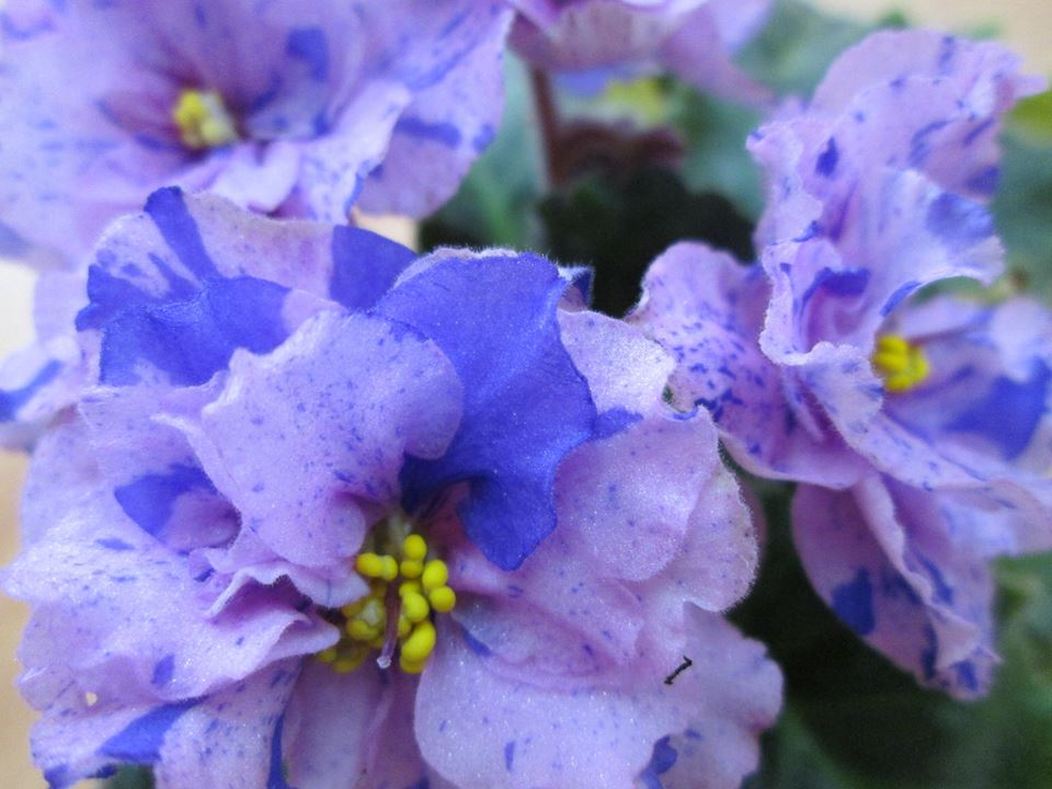 Le Pisanka african violet