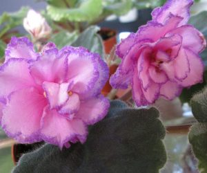 Strawberry Wave african violet