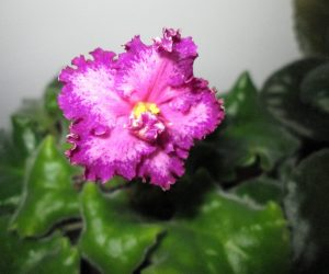 This image it is about Tips and tricks for growing African Violets