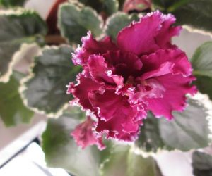 amazing african violets