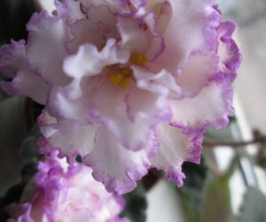 beautiful african violet tips to grow