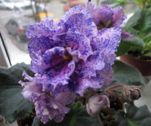 le mozaica - african violets