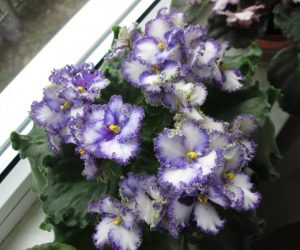 This image it is about African Violet care – How to grow Saintpaulia