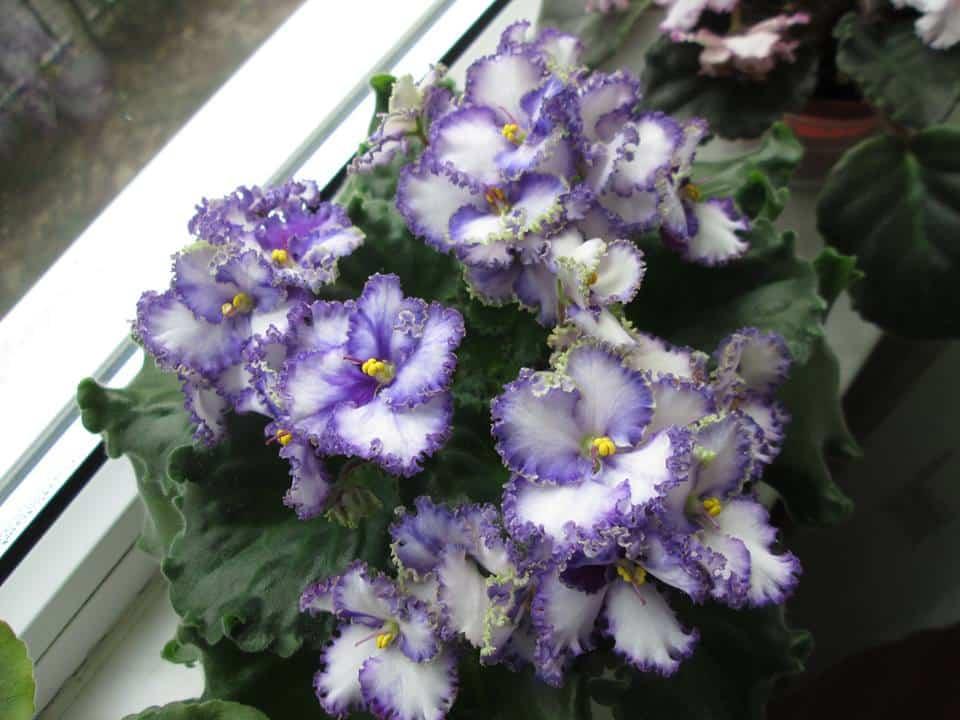 saintpaulia african violet