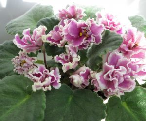 saintpaulia plant