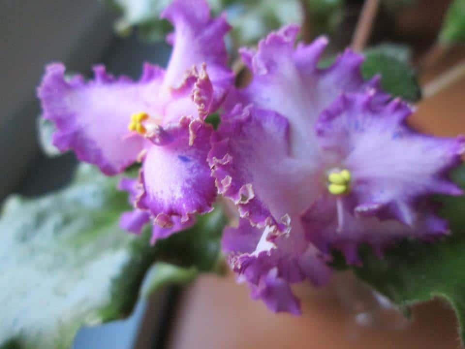 violets care