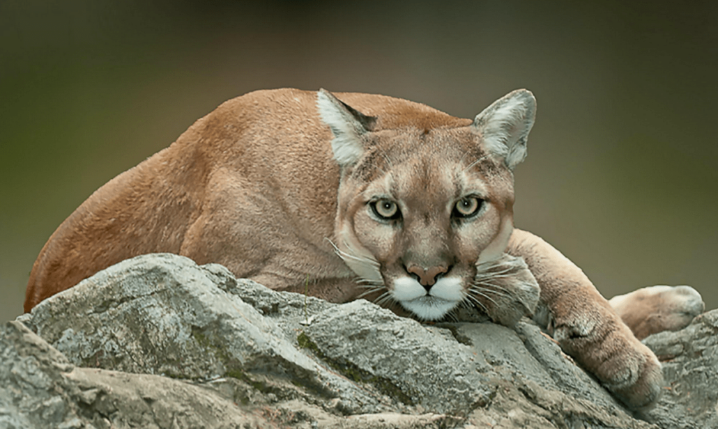 Facts about florida panther