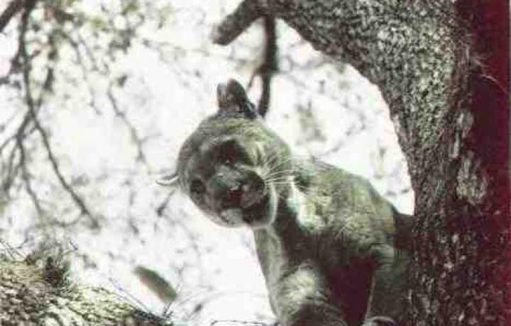 Treepan - Florida Panther