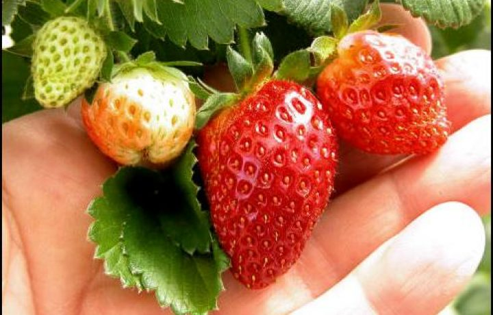 Delicious strawberries grown in plastic tube