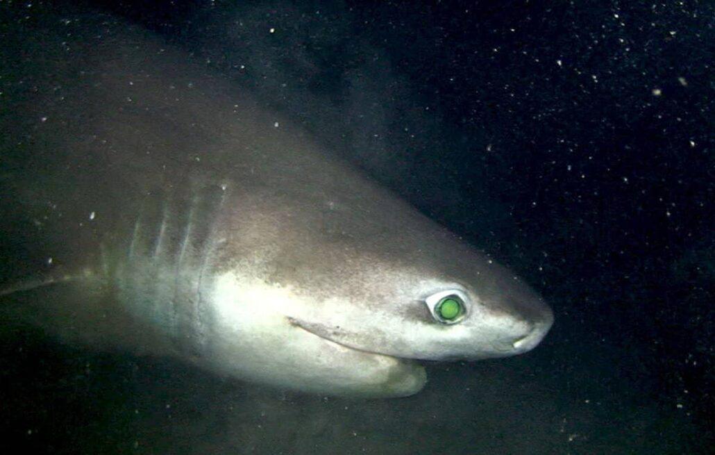 Diet of sixgill shark
