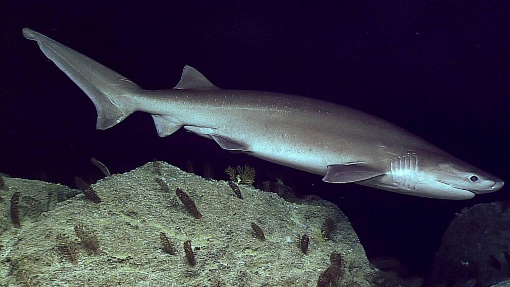 Where sixgill shark lives