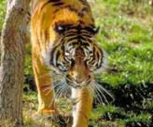 This image it is about Sumatran Tiger