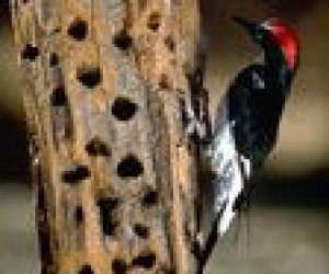 This image it is about Woodpecker Drumming
