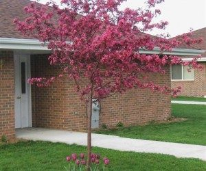 This image it is about Outstanding Crabapples Cultivars for Maryland