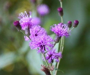 This image it is about New York ironweed: Virginia Wildflower of the Year