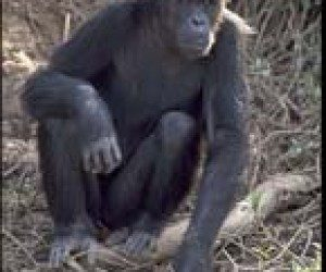 This image it is about Chimp Talk