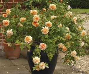 This image it is about Growing Roses in Containers
