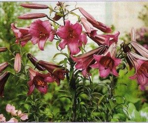 This image it is about SUMMER TRUMPETS