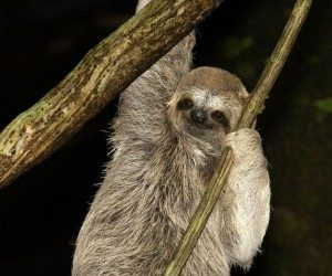 This image it is about The key to the sloth's success – South American sloth
