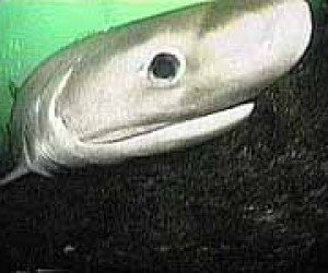This image it is about Natural History of the Sixgill Shark (Hexanchus griseus)