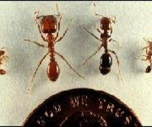 This image it is about Fighting the fire ants