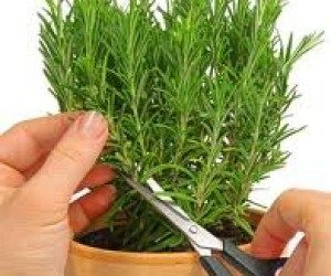 This image it is about Growing rosemary – How to grow rosemary in a pot – Do it yourself (DIY)