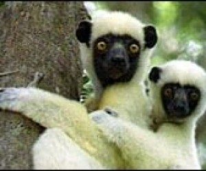 This image it is about Leapin' lemurs!