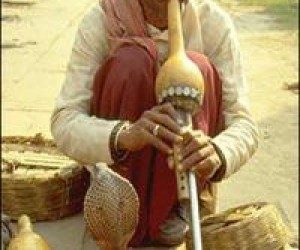 This image it is about The truth behind snake charming